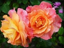 Rosas, Flores, Rosas para cumpleaños, Cesta de flores, Flores de cumpleaños, flores cumpleaños, ramos de flores de cumpleaños